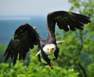 Raptor eagle