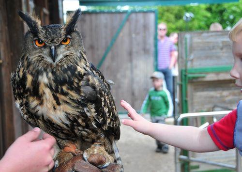 Raptor owl